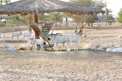 Beautiful white Arabian Oryx with curved horn Stock Photo
