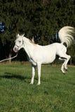 Beautiful white arabian stallion kicking Stock Photography