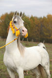 Beautiful white arabian stallion with nice halter. Beautiful white arabian stallion with nice show halter in autumn royalty free stock images