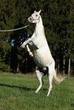 Beautiful white arabian stallion prancing Stock Photography