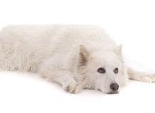 Beautiful White aski severe dog laying down Stock Photos