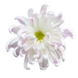 Beautiful white autumn irregular incurve chrysanthemum Royalty Free Stock Images
