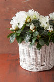 Beautiful white azalea flowers in basket over rustic background Royalty Free Stock Photo