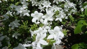 White azalea in the garden. Beautiful white azalea in the garden royalty free stock image