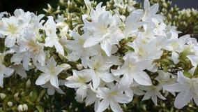 White azalea in the garden. Beautiful white azalea in the garden stock image