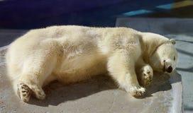 Beautiful white bear royalty free stock photography