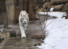 Beautiful white bengal tiger in cage Royalty Free Stock Images
