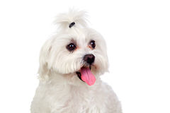 Beautiful white Bichon Maltese Royalty Free Stock Photography