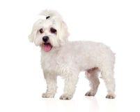 Beautiful white Bichon Maltese. On white background Royalty Free Stock Images