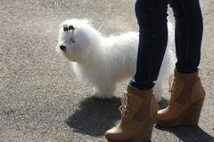 Beautiful white Bichon Maltese. With feet of the woman Stock Photo