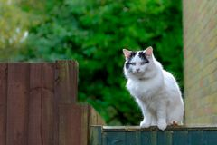Beautiful white bigcat sitting on the fence royalty free stock photos