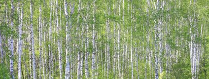 Beautiful white birch trees in spring in forest. In good weather stock images
