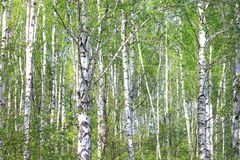 Beautiful white birch trees in spring in forest. In good weather royalty free stock image