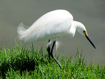 Beautiful  white bird Heron Stock Images