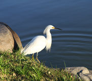 Beautiful white bird on the lake coast. Royalty Free Stock Photo