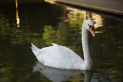 Swan on a lake in shanghai zoo royalty free stock photo