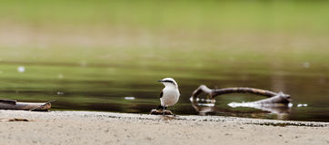 Beautiful white bird on rivers bank with water and a few branches around Royalty Free Stock Photos