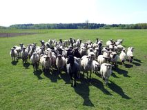 Many sheep animals in field, Lithuania. Beautiful white and black colors sheep animals in green spring field stock photo