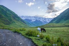 Beautiful white and black horses grazing on green pasture in mountain valley,. Georgia, Caucasus royalty free stock photography