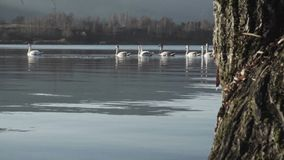 Group of swans stock footage