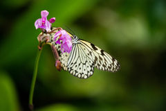 Beautiful white-black tropical butterfly Stock Images