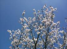 Beautiful white blooming fruit tree grown in park near Prague in spring royalty free stock images
