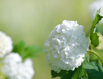 Beautiful white blooming hydrangea Royalty Free Stock Photography