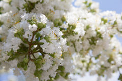 Beautiful white blooms on a tree. White flowers blooming on a Southern tree Royalty Free Stock Photography