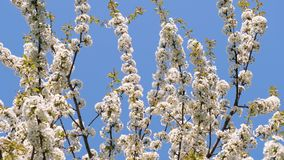 White blossom apple tree branches swaying in the wind in a park. Beautiful white blossom apple tree branches swaying in the wind in spring at the bright sky stock footage