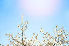 Beautiful white blossom and blur lights. With sky background and sun Stock Photos