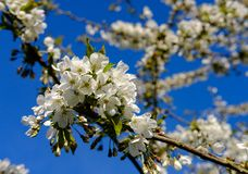 Beautiful, white blossom seen on a tree in springtime. The white blossom is from a large cherry tree, seen against a clear blue sky in a large, well maintained stock image