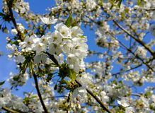 Beautiful, white blossom seen on a tree in springtime. The white blossom is from a large cherry tree, seen against a clear blue sky in a large, well maintained royalty free stock images