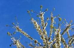 Beautiful, white blossom seen on a tree in springtime. royalty free stock photography
