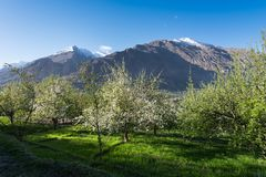 White blossom tree in spring season at northern of Pakistan Stock Images