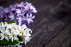White and blue hyacinth flowers and red heart on wooden backgrou Stock Images