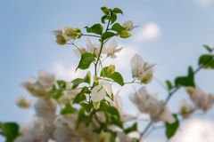 Beautiful white bougainvillea flowers closeup. Vivid colors and blue, green soft blurry background. Royalty Free Stock Photo