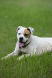 Beautiful white Boxer Bulldog  mixed breed dog Royalty Free Stock Photos