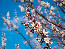 Beautiful white branches of a blooming apricots in the spring in the background blue sky stock photography
