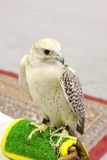 A beautiful white breasted falcon Stock Image