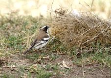 A beautiful White-browed Sparrow-Weaver Stock Image