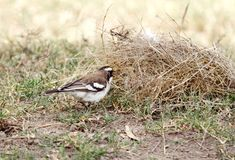 A beautiful White-browed Sparrow-Weaver taking straw for making nest Royalty Free Stock Image