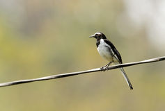 Beautiful White-browed wagtail perched on a wire Royalty Free Stock Photo