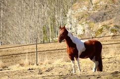 Brown white horse Royalty Free Stock Photos