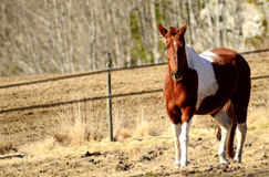Brown white horse Stock Photography