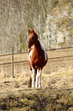 Brown white horse  posing Royalty Free Stock Image