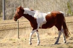 Brown white horse walking Royalty Free Stock Photo