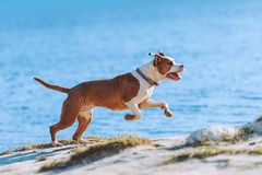 A beautiful white-brown male dog breed American Staffordshire terrier runs and jumps against the background of the water. Stock Image