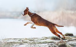A beautiful white-brown male dog breed American Staffordshire terrier runs and jumps against the background of the water. Beautiful young puppy jumping and Royalty Free Stock Images