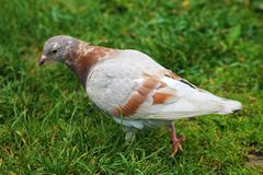 A beautiful white-brown pigeon walks in the grass of a city park stock photography