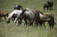 Wild horses grazing in Montana Stock Photography